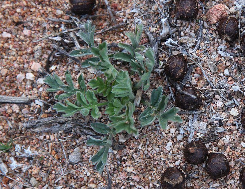 Pelargonium incrassatum 4. Credit: Matija Strlic.