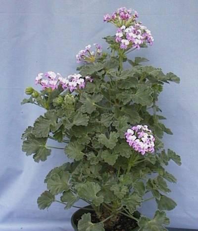P. cortusifolium x P. 'Cortusina' 'Lara 94024' 2. Credit: Cliff Blackman.
