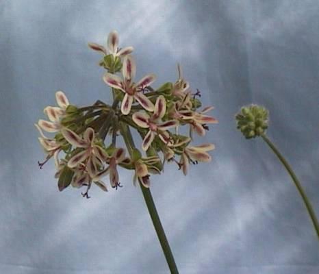 P. apiifolium x P. laxum 'Lara Bouquet' 1. Credit: Cliff Blackman.