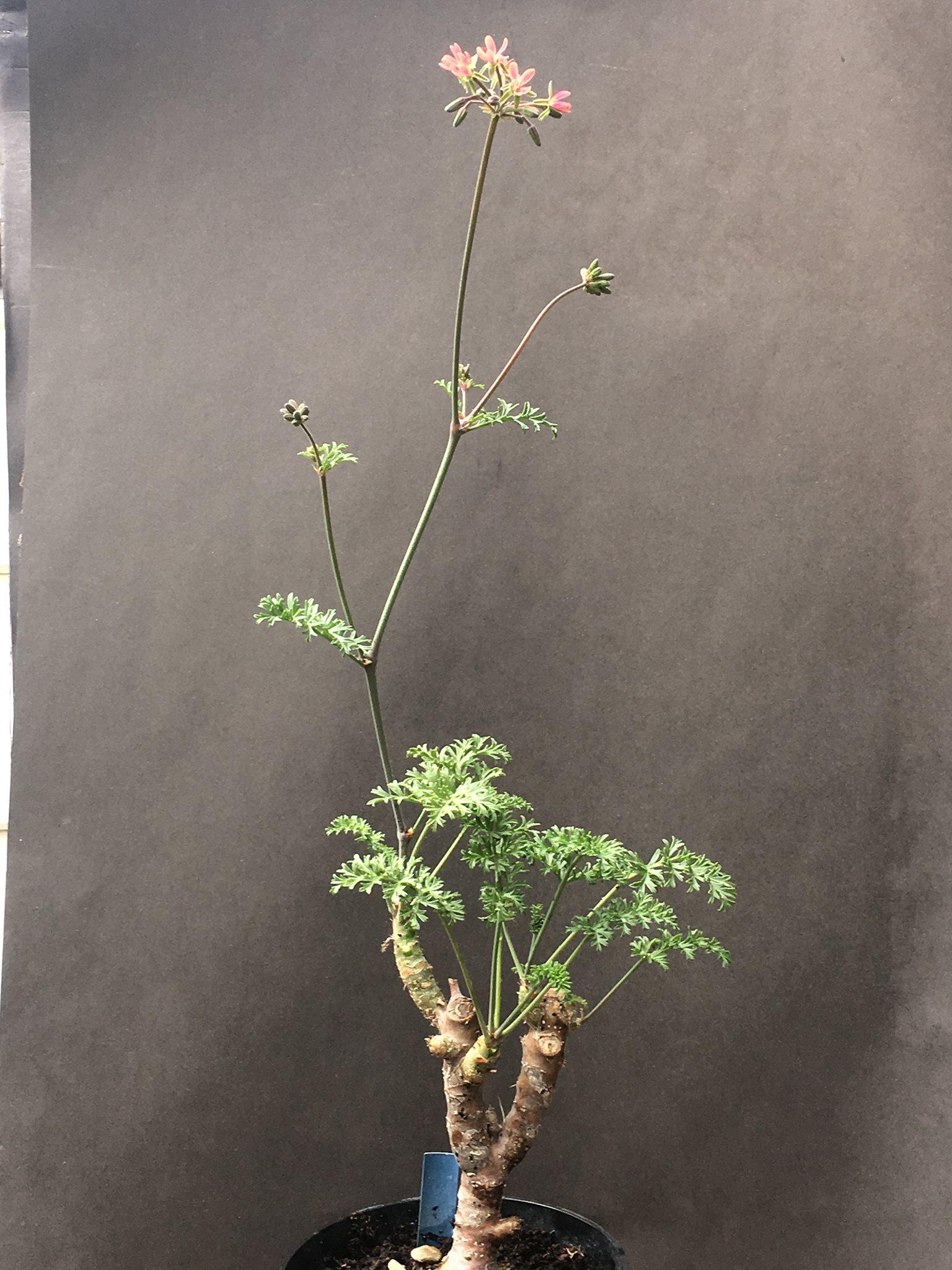 P gibbosum x anethifolium 1. Credit Arjan de Graaf.