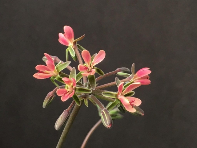 P gibbosum x anethifolium 2. Credit Arjan de Graaf.