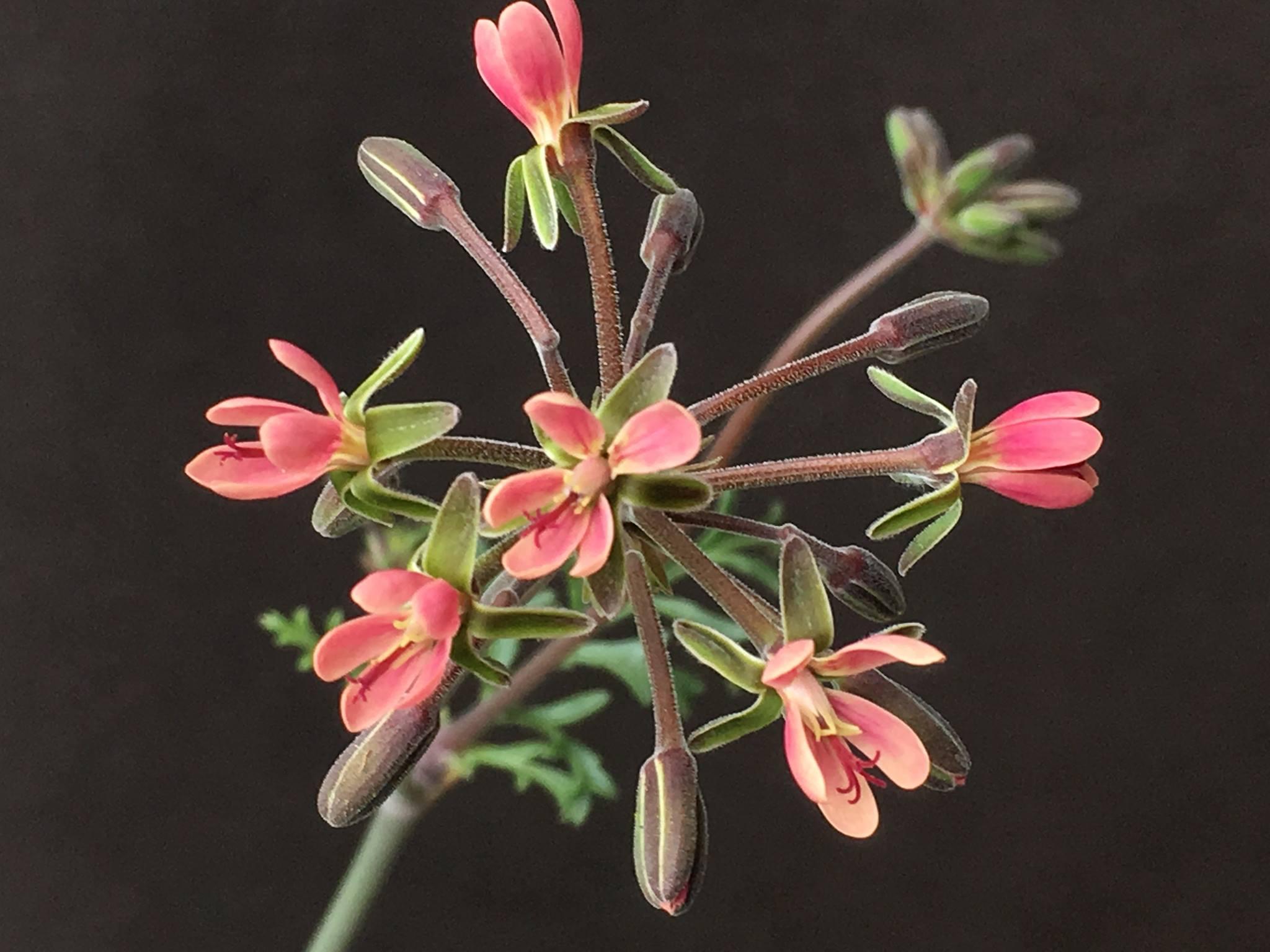 P gibbosum x anethifolium 3. Credit Arjan de Graaf.