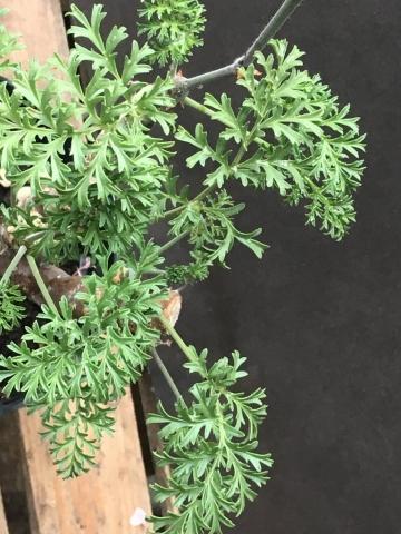 P gibbosum x anethifolium 4. Credit Arjan de Graaf.