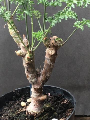 P gibbosum x anethifolium 5. Credit Arjan de Graaf.