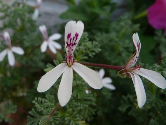 Pelargonium abrotanifolium 2. Credit: Fanie Avenant.