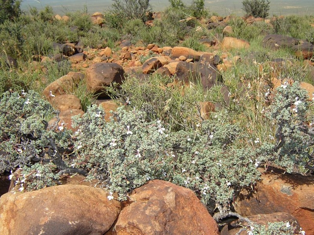 Pelargonium abrotanifolium 3. Credit: Fanie Avenant.