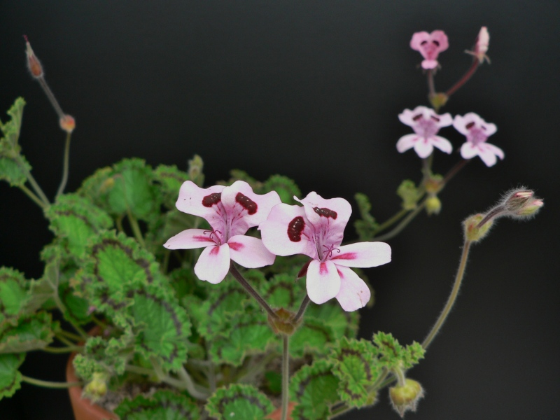Pelargonium alpinum 2. Credit: Chris Stevenson.