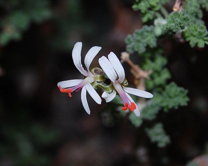Pelargonium alternans ssp. alternans 1. Credit: Katya Kotskaya.
