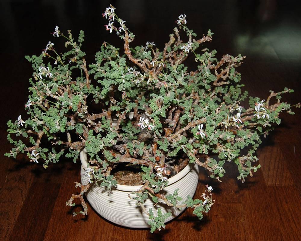 Pelargonium alternans ssp. alternans 2. Credit: Katya Kotskaya.