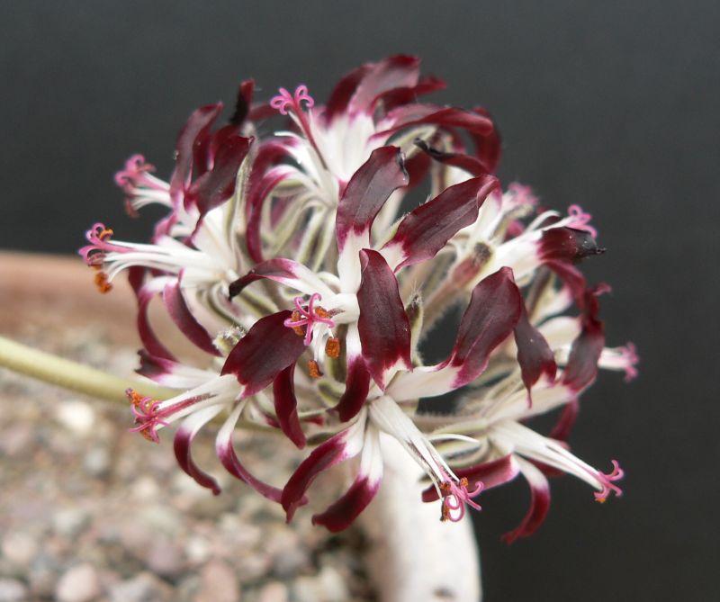 Pelargonium auritum var. auritum 1. Credit: Chris Stevenson.