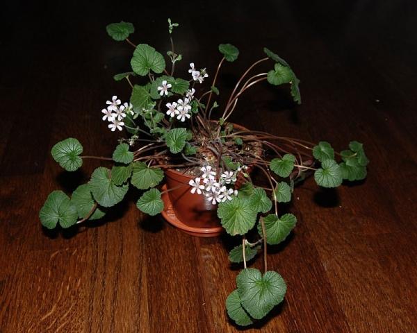 Pelargonium australe 2. Credit: Katya Kotskaya.