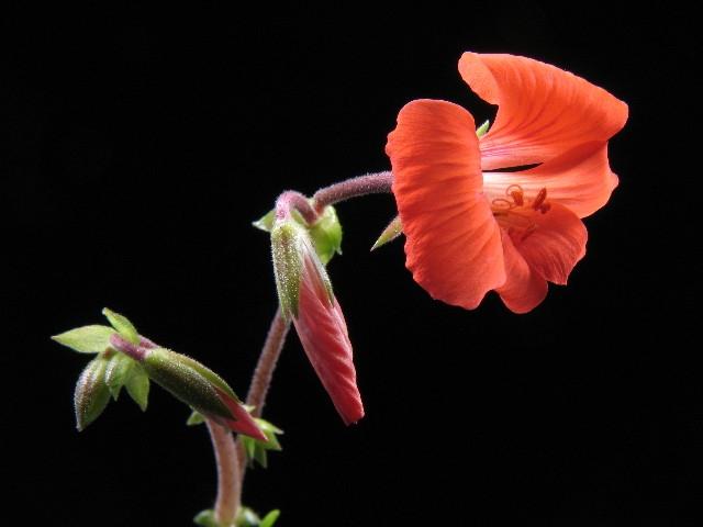 Pelargonium boranense 1. Credit: Ian Gillam.