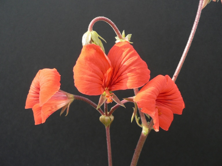 Pelargonium boranense 4. Credit: Chris Stevenson.