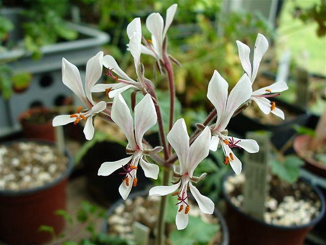Pelargonium campestre 1. Credit: Petr Reichelt.