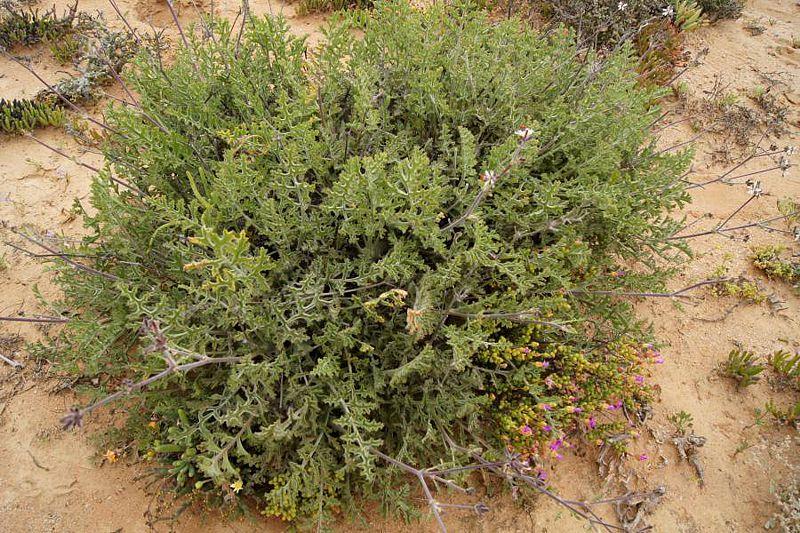 Pelargonium carnosum ssp. ferulaceum 4, Knersvlakte. Credit: Elena Ioganson.