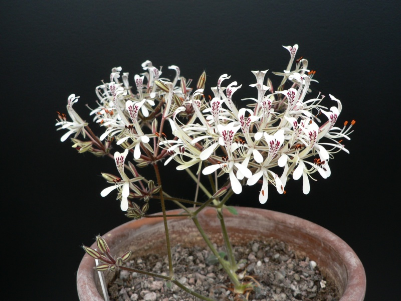 Pelargonium curviandrum 1. Credit: Chris Stevenson.