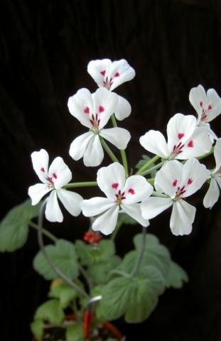 Pelargonium echinatum 1. Credit: Vered Adolfsson Mann.