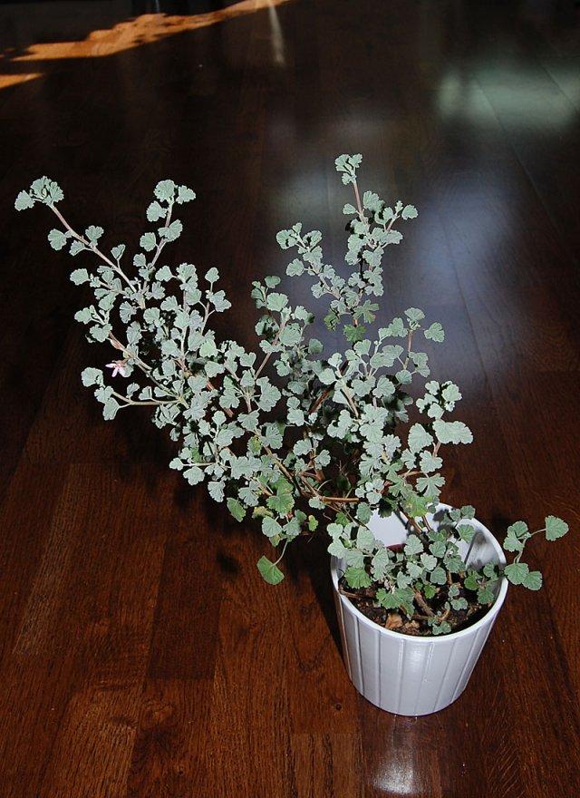 Pelargonium exstipulatum 2. Credit: Katya Kotskaya.