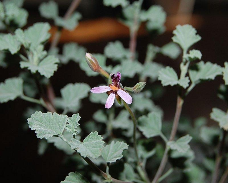Pelargonium exstipulatum 3. Credit: Katya Kotskaya.