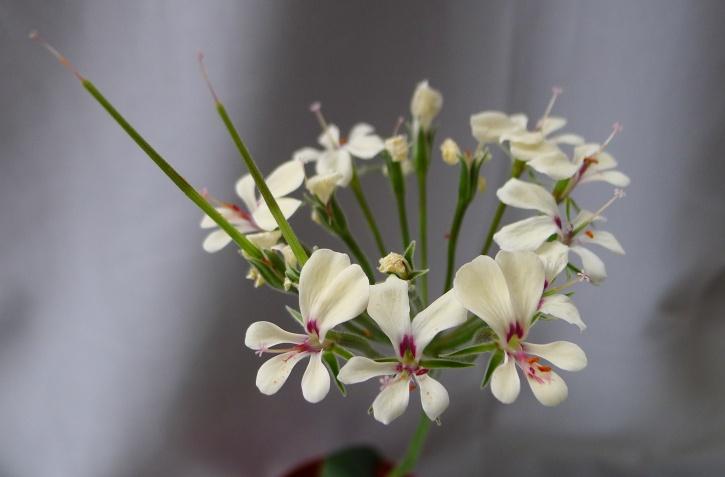 Pelargonium grenvilleae 3. Credit: Vered Adolfsson Mann.