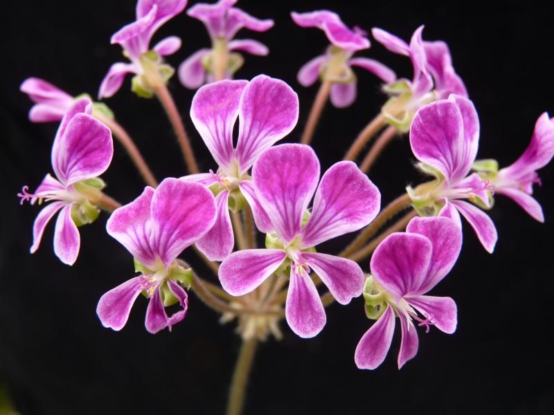 P. incrassatum x P. lobatum 1. Credit: Bill Morris.