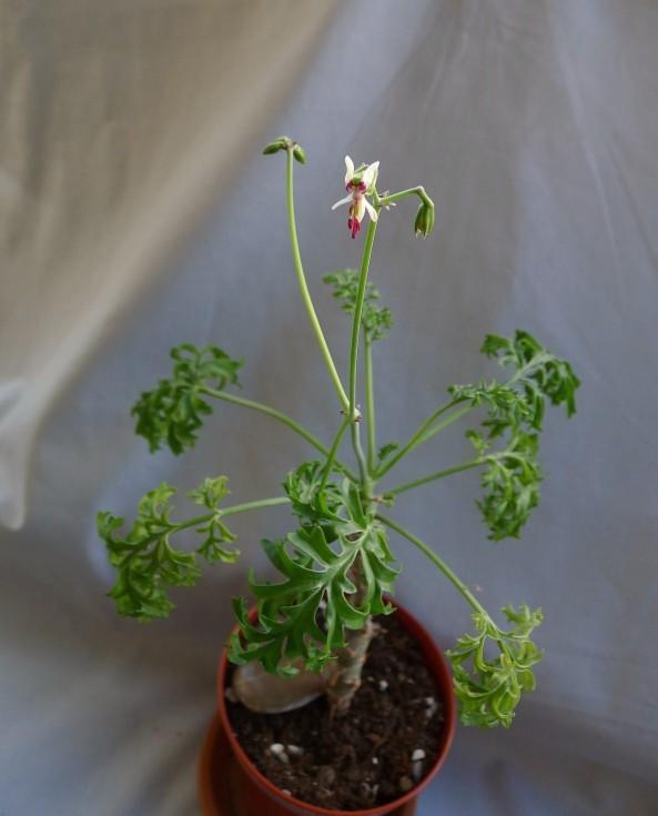 Pelargonium laxum ssp. laxum 1. Credit: Vered Adolfsson Mann.
