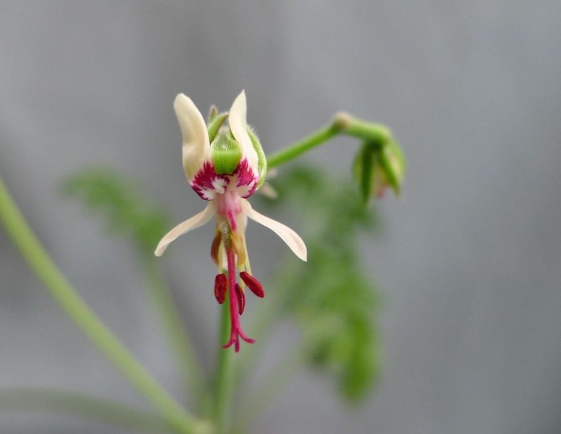 Pelargonium laxum ssp. laxum 2. Credit: Vered Adolfsson Mann.