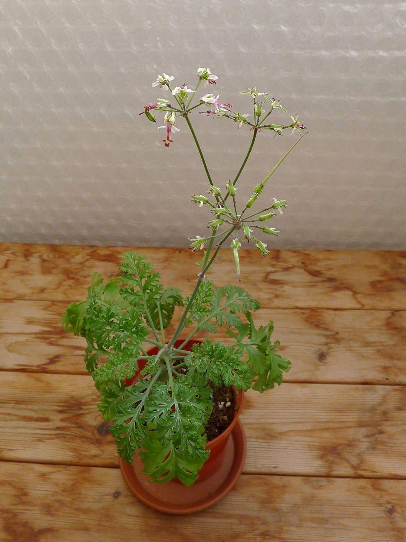 Pelargonium laxum ssp. laxum 3. Credit: Vered Adolfsson Mann.