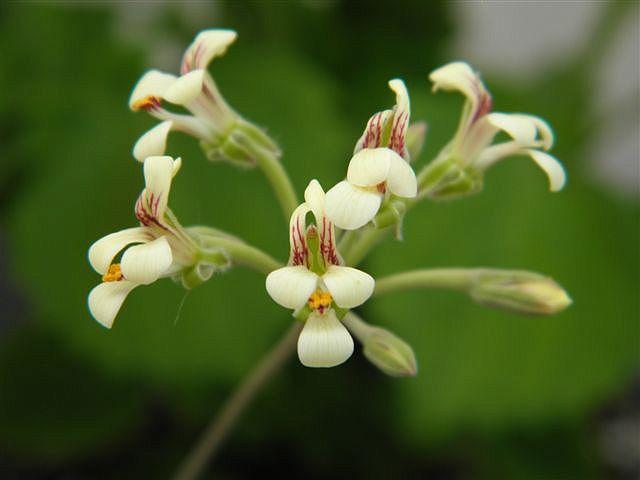 Pelargonium luteolum 1. Credit: Petr Reichelt.