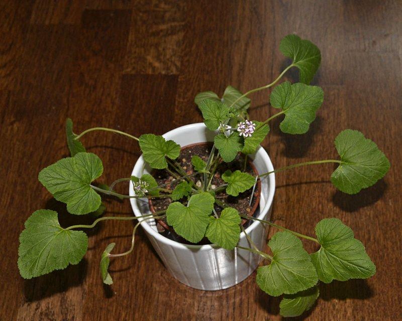 Pelargonium madagascariense 2. Credit: Katya Kotskaya.
