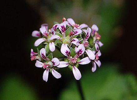 Pelargonium madagascariense 1. Credit: Katya Kotskaya.