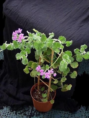 Pelargonium magenteum 2. Credit: Vered Adolfsson Mann.