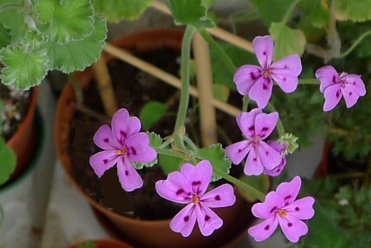 Pelargonium magenteum 1. Credit: Vered Adolfsson Mann.