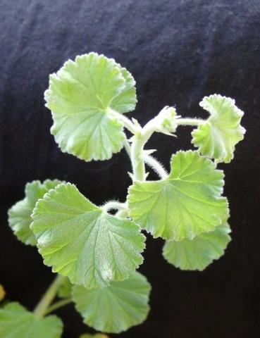 Pelargonium magenteum 3. Credit: Vered Adolfsson Mann.