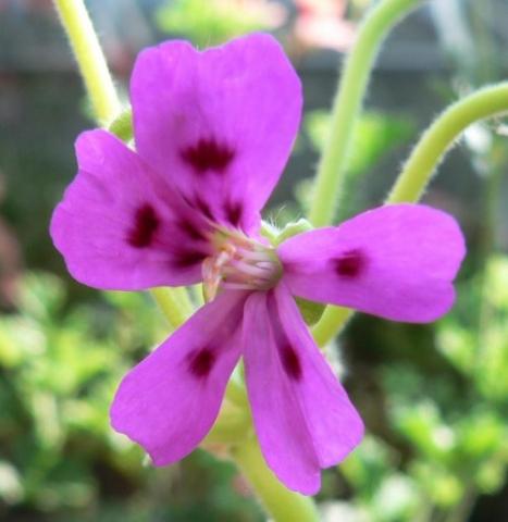 Pelargonium magenteum 4. Credit: Chris Stevenson.