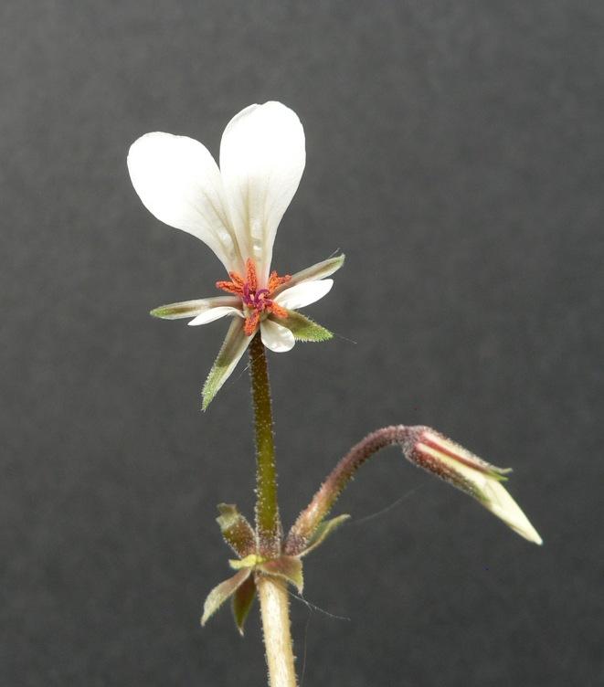 Pelargonium mollicomum 1. Credit: Chris Stevenson.