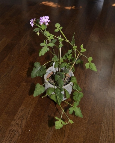 Pelargonium multicaule 2. Credit: Katya Kotskaya.