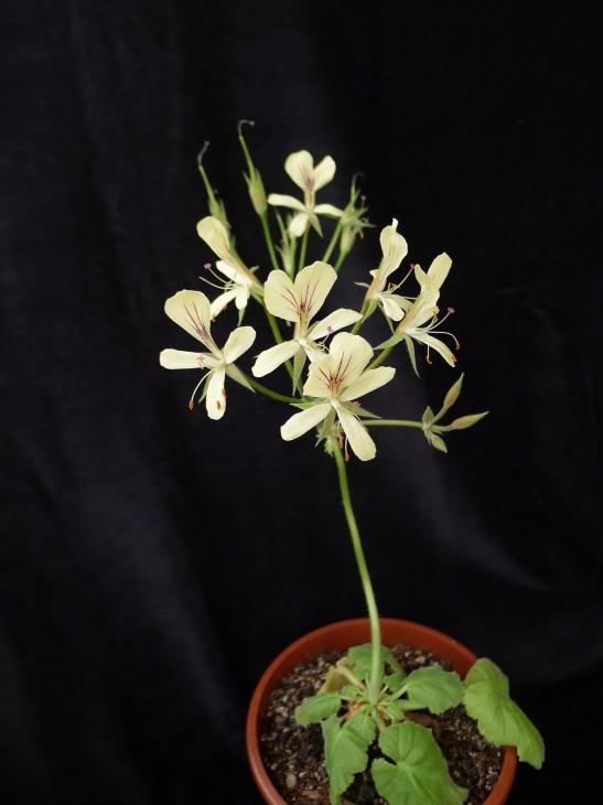 Pelargonium oblongatum 1. Credit: Vered Adolfsson Mann.