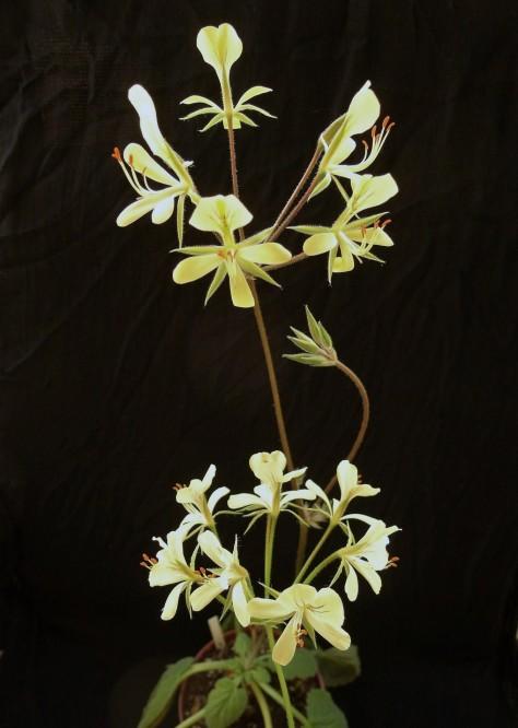 Pelargonium oblongatum 3. Credit: Vered Adolfsson Mann.
