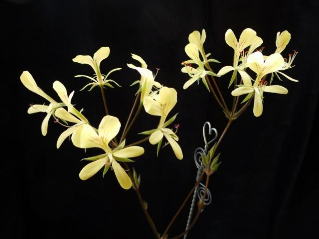 Pelargonium oblongatum 4. Credit: Vered Adolfsson Mann.