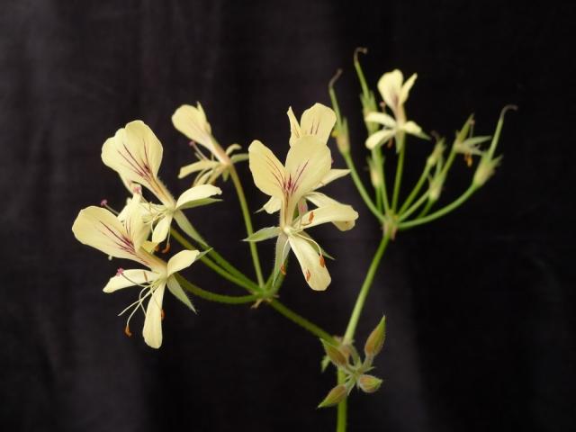 Pelargonium oblongatum 5. Credit: Vered Adolfsson Mann.