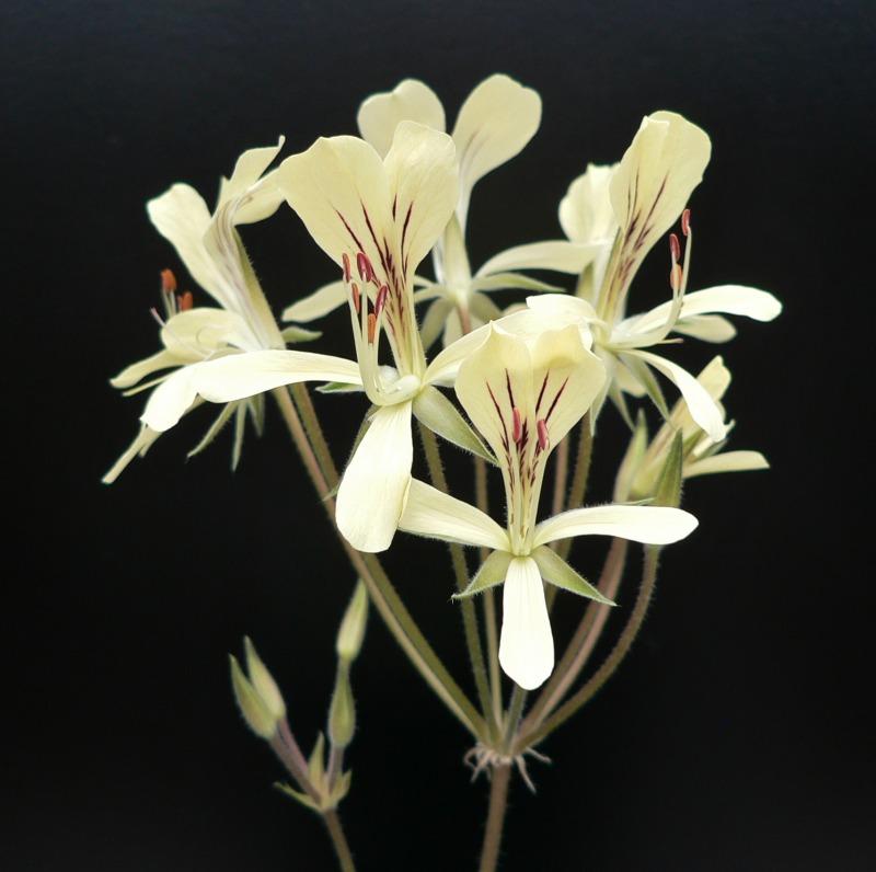 Pelargonium oblongatum 6. Credit: Chris Stevenson.