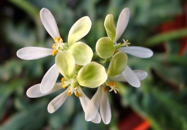 Pelargonium ochroleucum 2. Credit: Vered Adolfsson Mann.