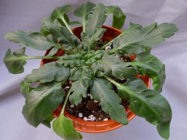 Pelargonium ochroleucum 3. Credit: Vered Adolfsson Mann.