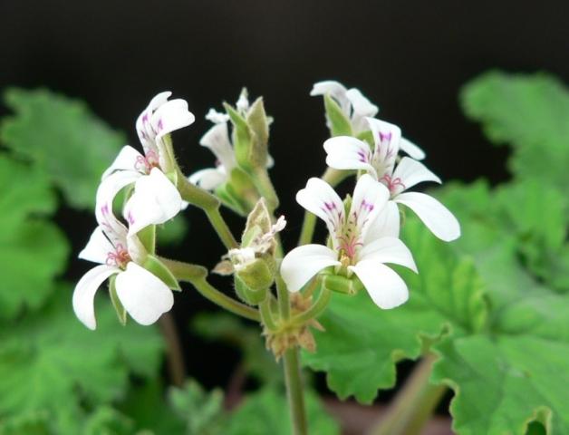 Pelargonium odoratissimum 1. Credit: Chris Stevenson.