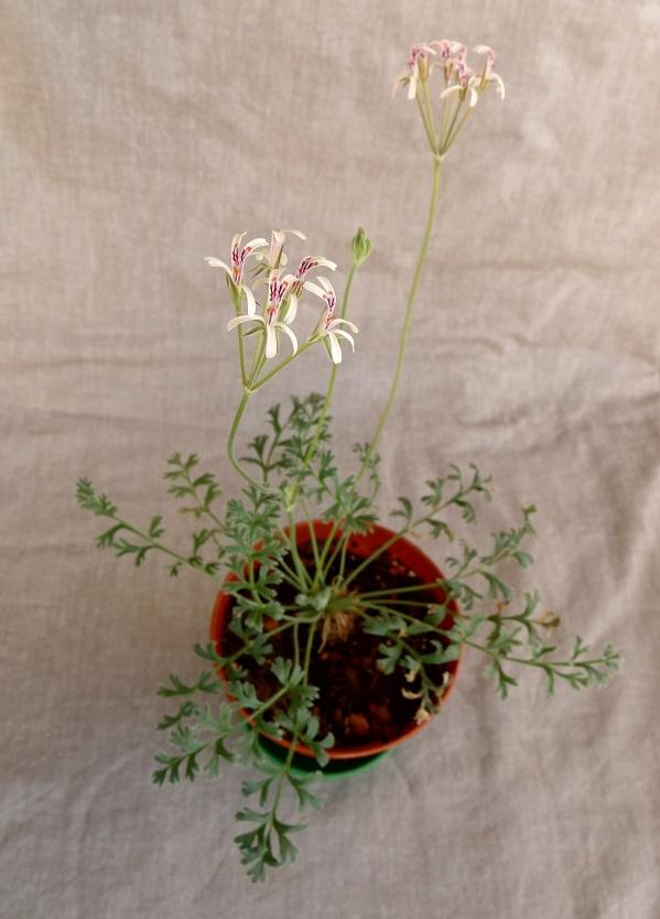 Pelargonium petroselinifolium 1. Credit: Vered Adolfsson Mann.