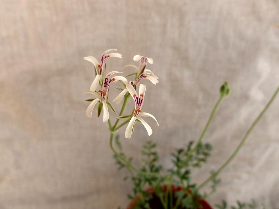 Pelargonium petroselinifolium 2. Credit: Vered Adolfsson Mann.