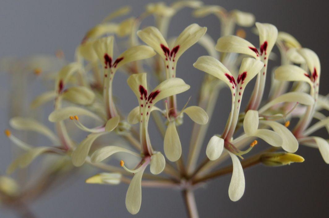 Pelargonium punctatum 1. Credit: Elena Ioganson.