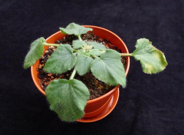 Pelargonium punctatum 3. Credit: Elena Ioganson.