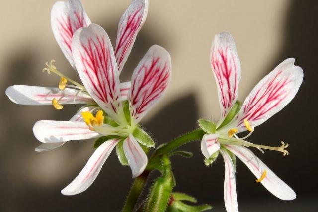 Pelargonium quarciticola 1. Credit: Elena Ioganson.